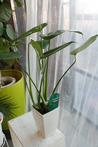 【送料込】【お祝い】 観葉植物 モンステラ デリシオサ 高さ50cm 陶器鉢【観葉鉢】
