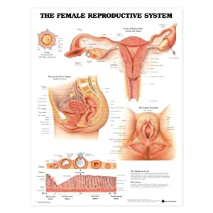 Amazon.com: Female Reproductive System Chart: Industrial