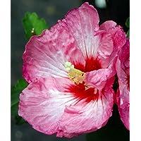 Ruffled Satin® Hibiscus - Tropical Look/Hardy - Rose of Sharon - Proven Winner