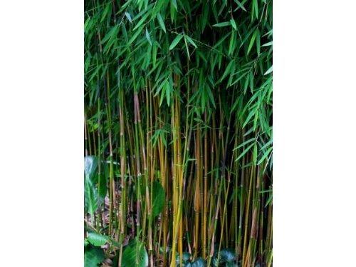 f r diese bambus sorten ist rhizomsperre erforderlich. Black Bedroom Furniture Sets. Home Design Ideas