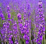 Lawn & Patio - 500 TRUE ENGLISH LAVENDER VERA Lavender Augustifolia Vera Herb Flower Seeds