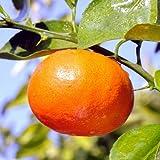 べにばえ5号ポット[糖度最高!12月下旬~1月下旬収穫・人気 柑橘・かんきつ類苗木]
