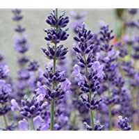 English Lavender Herb - Perennial - Potted - Very Fragrant - 4