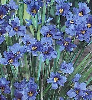 Blue-Eyed Iris Grass Plant