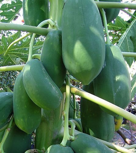 Dwarf Solo Papaya Tree! 10 Seeds! Small fruit! PERFECT FOR GROWING IN POTS (Growing Dwarf Fruit Trees compare prices)