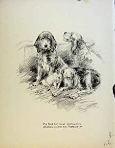 Dog Drawing Pencil Sketches By Barker Old Print C1933