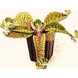 Donkey Ears - Kalanchoe Gastonis-bonnieri Plant Exotic Succulents Seed -15 Seeds