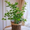 【遅れてもうれしい!父の日ギフト送料無料】ブルーベリー鉢植え(実付)