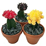 3 Neon Grafted Moon Cactus Plants - Easy to Grow - Colorful - 3