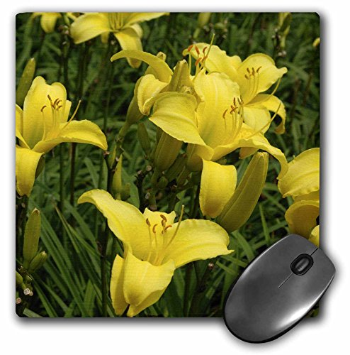Danita Delimont - Flowers - MA, Tower Hill Botanic Garden daylily flower - US22 LEN0164 - Lisa S. Engelbrecht - MousePad (mp_90900_1)
