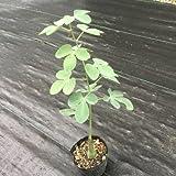 多肉植物:アデニアhyb グラウカ×スピノーサ*塊幅2cm