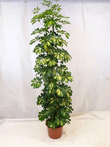 schefflera-arboricola-gold-capella-strahlenaralie-190-cm-3er-tuff-zimmerpflanze