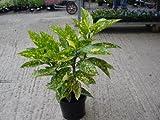 Grasslands Aucuba Japonica variegata 2 litre