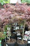 Acer Palmatum Dissectum Garnet - Japanese Maple 80cm Tall