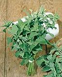Catnip Seeds - Nepeta Cataria - .1 Grams - Approx 150 Gardening Seeds - Herb Garden Seed