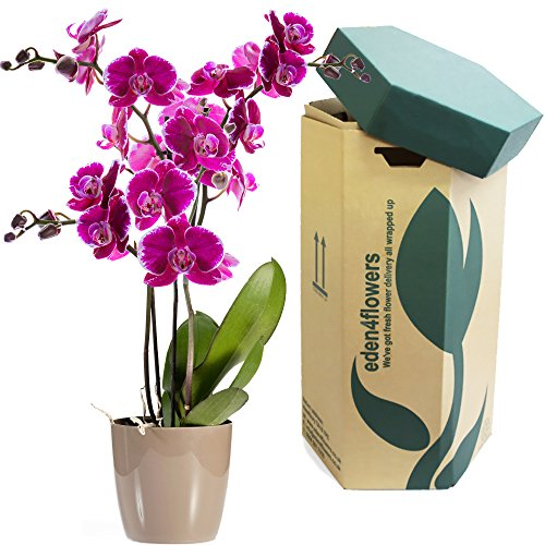 large-twin-stemmed-cerise-pink-phalaenopsis-flowering-orchid-plant-flowering-plant-gifts-by-eden4flo