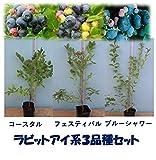 [おすすめ]暖地向けラビットアイ系ブルーベリー苗木3品種セット:フェスティバルxコースタルxブルーシャワー 直径13.5cmポット3年生約0.5m