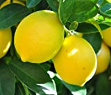1-2 Year Old Improved Meyer Lemon Citrus Tree in Grower's Pot (CAN'T SHIP TO CA, AZ, TX,LA, HI AK OR FL)