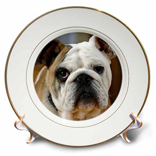 3dRose cp_16939_1 American Bulldog Portrait-Porcelain Plate, 8-Inch