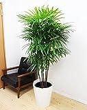 棕櫚竹 シュロチク 観葉植物 10号 大鉢 観葉植物 インテリア 大型 オシャレ 大きい 尺鉢