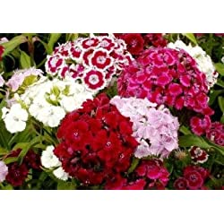 David's Garden Seeds Flower Sweet William Tall Single Mix DGSDIA116JD (Multi) 1000 Open Pollinated Seeds