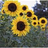 SUNFLOWER TALL FLOWER SEEDS BY KRAFT SEEDS [PACK OF 2]