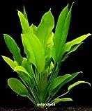 Wasserflora Große Amazonas-Schwertpflanze