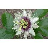 Edible Passion Flower 5 Seeds - Passiflora edulis
