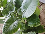Jack's Giant Elephant Ear Plant - Colocasia - Massive Foliage - Potted