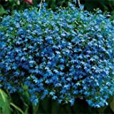 Outsidepride Lobelia Blue Carpet - 5000 Seeds