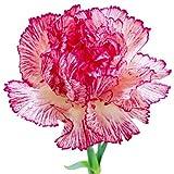 新レアブラックカーネーションの花ナデシコ盆栽花植物200個/ロット