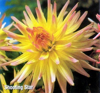 Buy Shooting Star Cactus Dahlia Tuber – Creamy Yellow!
