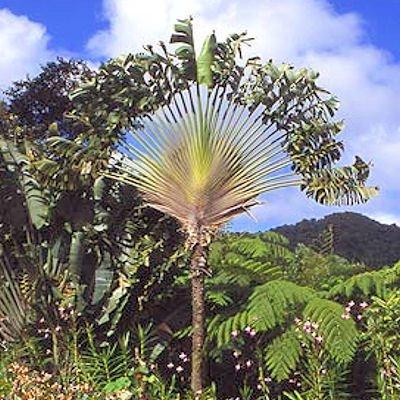 TRAVELERS PALM Ravenala madagascariensis 10 seeds