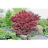 1 Plant Red Japanese Maple Trees Bloodgood -Var-Atropurpureum (12-24 inch tall)
