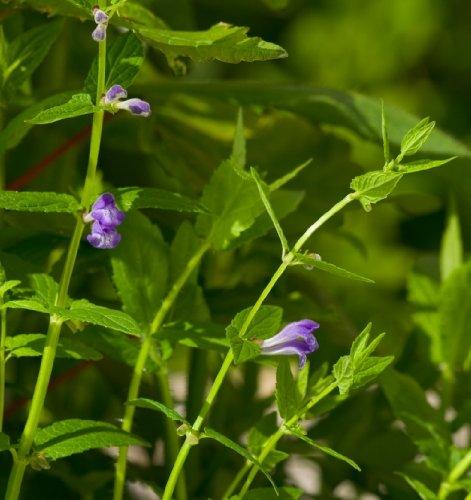 wildflower-skullcap-300-seeds