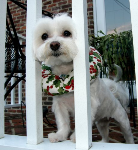 puppy-bumper-keep-your-dog-on-the-safe-side-of-the-fence-holiday-holly-small-up-to-10