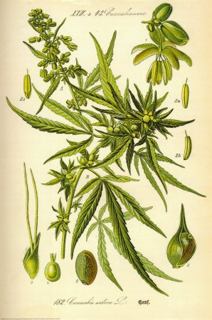 Cannabis Sativa Botanical Illustration Art Poster Print – 24×36 Fine Art Poster Print, 24×36