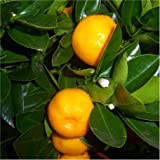 Cross Common Nursery Citrus Orange 'Calamondin' Standard