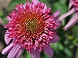 Echinacea 'Double Scoop Bubblegum' plant in 13cm pot. Coneflower