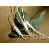 25 AMERICAN GINSENG ROOTS woods grown 1 year plants. Grow seed