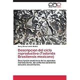 Descripcion del ciclo reproductivo (Tadarida Brasiliensis mexicana): Descripción anatómica de los aparatos reproductores...