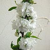 ニワザクラ(庭桜):白花4.5号ポット[八重の可憐な花を咲かせる低木]