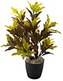 Fourwalls 60cm Tall Mini Croton Plant without Pot
