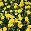Wildflower - Dandelion - 2000 Seeds