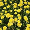 Wildflower - Dandelion - 2000 Seeds