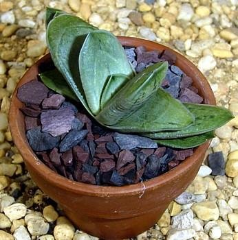Buy Polished Ox Tongue Plant – Easy to grow/Hard to kill!
