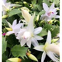 Hirt's White Christmas Cactus Plant -Zygocactus - 6