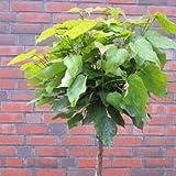 Kugel-Trompetenbaum 'Nana' - Catalpa bignonioides 'Nana' 220 cm