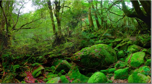 World Heritage Yakushima Island Princess Mononoke forest landscape photo Panel 125 x 70 cm BIG-33 housewarming, wedding, will enjoy the gifts.