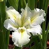 Iris Louisiana White Umbrella - 1 plant
